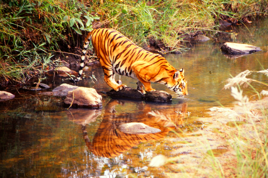 Tiger reflection, Kanha Nationalpark, India 1991