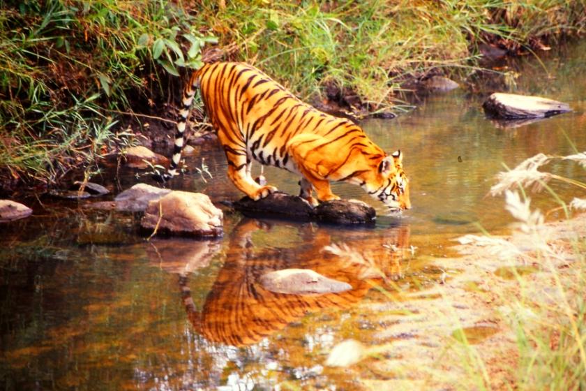Tiger reflection, Kanha Nationalpark, India 1991