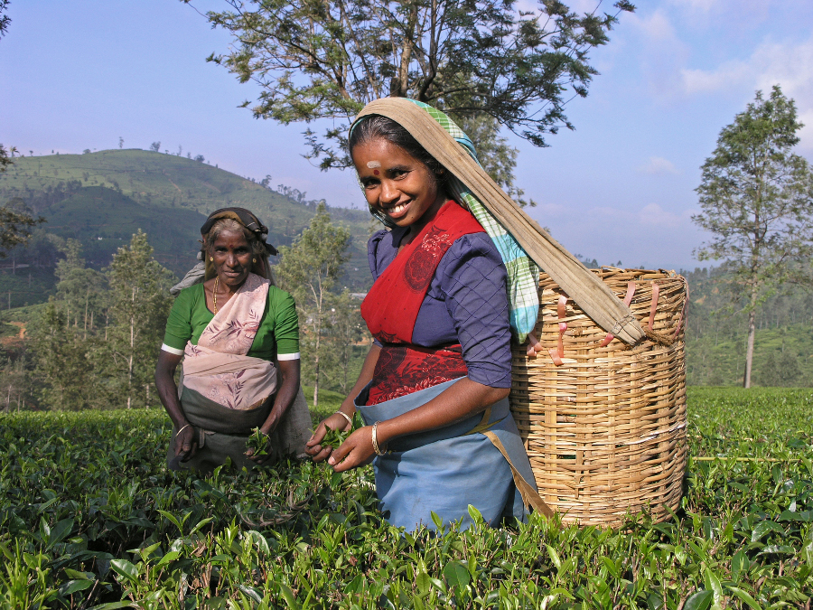 Ladies in the tea garden, South India
