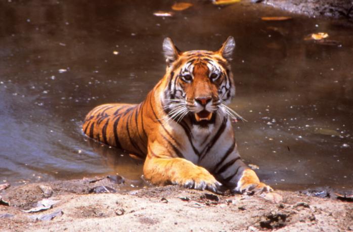 Tiger at Bandhavgarh Nationalpark, Central India