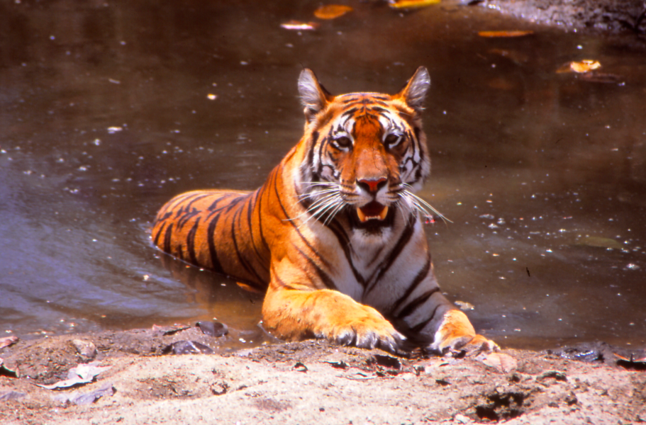 Tiger at Bandhavgarh Nationalpark, Central India