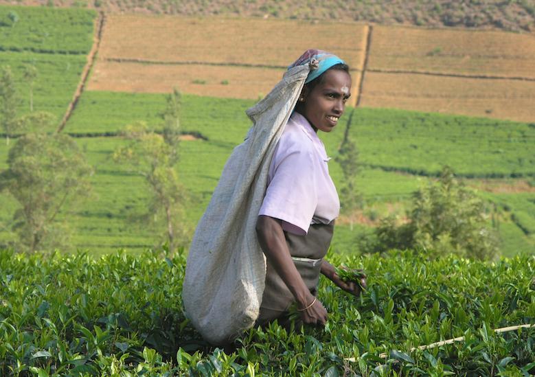 Plucking tea in Kerala, South India