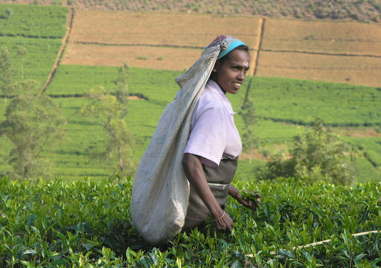 Plucking tea in Kerala, South India